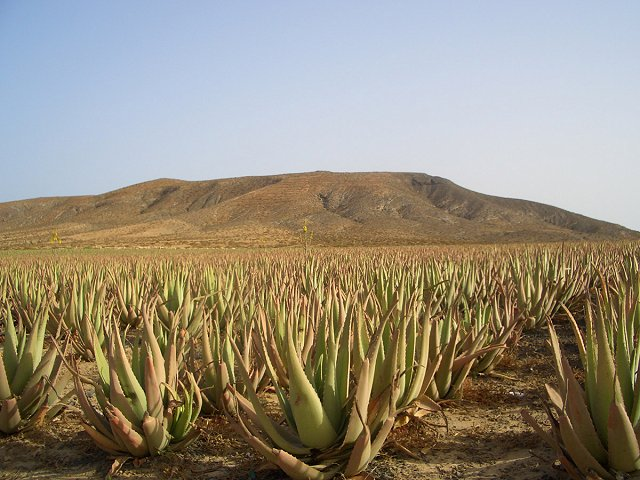 Aloe vera and other medicinal plants near your property in Tenerife